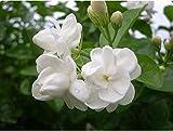 #9: Live Arabian Jasmine Mogra Plant - White Shrub Flower Plant - One Plant