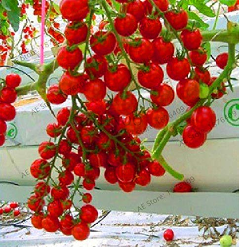 Bloom Green Co. Perte de promotion! 100pcs / sac flores tomate cerise. Rare Balcon potager fruits bio Bonsai plantes en pot (rouge, jaune) Pour: 4
