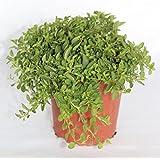 Sin marca Orégano (Maceta 13 cm Ø) - Planta Viva - Planta aromatica