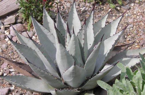 10 Samen Agave neomexicana, sehr winterhart