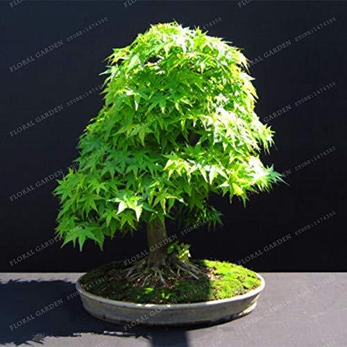Bloom Green Co. 100{6830bb7eee336c6b9b731ba48288ec34c782738bf86e2627b02f50e4eb7828ed} Echte japanische Mini Maple Bonsai-Baum Günstige Bonsai 20PCS / Pack, sehr schöne Indoor Baumgarten-Anlagen