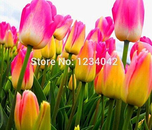 1000 PC 16kinds courtyard haute qualité rayé bleu tulipes graines graines de fleurs, rares graines de bonsaï du monde, des fleurs plante,