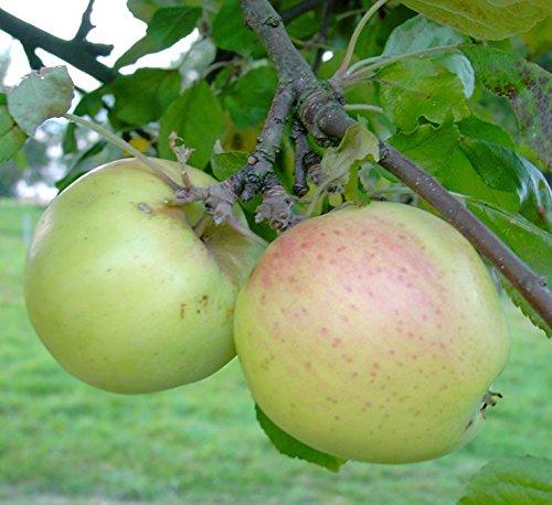 Apfelbaum Grahams Jubiläumsapfel Spätsommerapfel Buschbaum 120-150 cm 9,5 Liter Topf MM 111