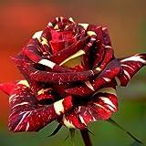 50 pc Viola Red Rose semi giardino domestico di DIY dicembre