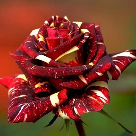 Bluelover Semi di 30pcs Abracadabra Cina Rose fai da TE casa giardino (Cina Tazze Set)