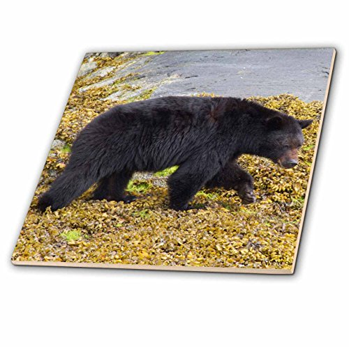 3dRose ct_45618_1 Black Bear 'Ursus Americanus' Vancouver Island, British Columbia, Kanada-Keramikfliese, 10,2 cm
