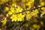 Gelber Winterjasmin - Jasminum nudiflorum - verschiedene Größen (50-70cm Topf 2Ltr.)