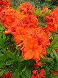 kupferrot blühende Garten Azalee Rhododendron