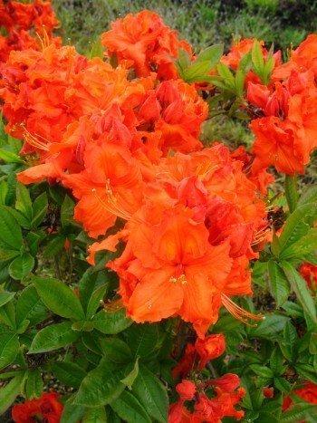 kupferrot blühende Garten Azalee Rhododendron luteum Gibraltar 30 - 40 cm hoch im 5 Liter Pflanzcontainer