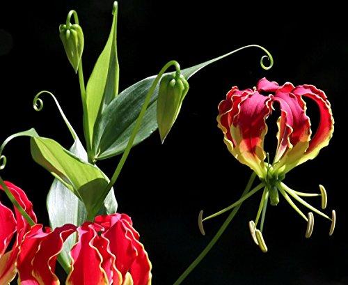 10 Samen Gloriosa Superba, Ruhmeskrone, Flammenlilie, frischer Import aus Indien