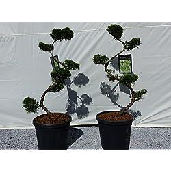 """Juniperus chin. """"Kaizuka"""" S-Bogen, 120 cm, Wacholder Formgehölz, Gartenbonsai, Bonsai"""