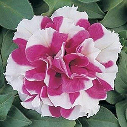 Seekay Pétunia Grandiflora F1 Double Duo Rouge - Blanc - 30 Granulés Graines - Annuel