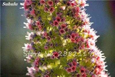 100 Pcs Charme Echium vulgare Graines vivaces Bonsai aThistle fleur bleue plantes Plantes d'intérieur Jardin en pot jardin 15 Diy