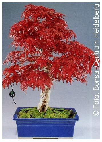 TROPICA - Acero Rosso giapponese (Acer palmatum atropurpureum) - 20 Semi- Bonsai