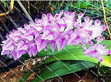 VISA STORE Hellpurpurner: New 100Pcs / Tasche Fox Orchid Bonsai Samen Home Garten Dekoration Saatgut Topfgarten WaldSaat Hellpurpurnes (Seeds ONLY) -
