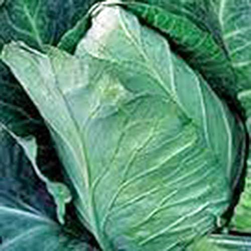 Shoppy Star Shoppy étoiles: Graine de chou, Early Jersey Wakefield, Heirloom, organique, non ogm, 25+ graines, savoureux légumes sains