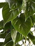 Philodendron, grüne Zimmerpflanze, pflegeleicht