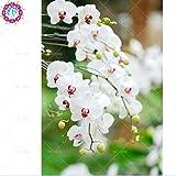 Semillas de flores de orquídeas 100PCS de semillas para el jardín de las semillas de orquídea Phalaenopsis para estudiar en casa de compra-directo desde China-orquidea semente 7