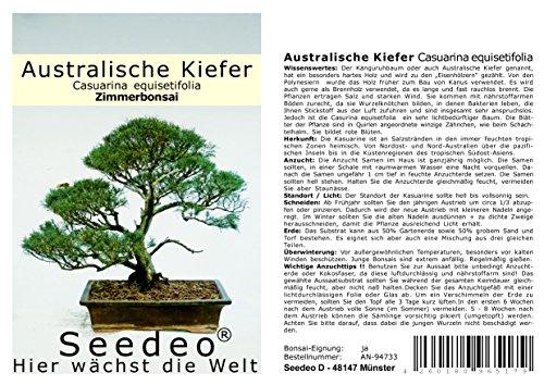 Seedeo Bonsai Geschenk – Set Australische Kiefer (Casuarina equisetifolia)