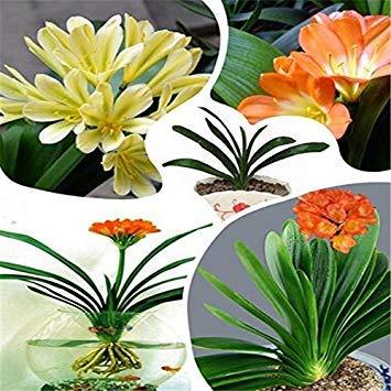 Galleria fotografica Clivia Fiore semi bonsai giardino domestico di DIY trasporto libero Grande vendita di vendita calda 500pcs