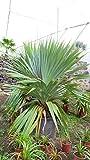 Große Schraubenpalme - Pandanus Utilis - verschiedene Größen (60-80cm Topf Ø 26cm)
