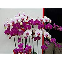 Visa Store NF564xT22: 2018 Nouveautés !!24 tipos de fondos de floración de orquídeas Phalaenopsis pour votre choix - (Couleur NF564xT22)