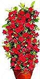 Pinkdose 100pcs arrampicata Mandevilla sanderi Dipladenia sanderi piante bonsai perenne fiore in vaso giardino della casa fai da te: 3