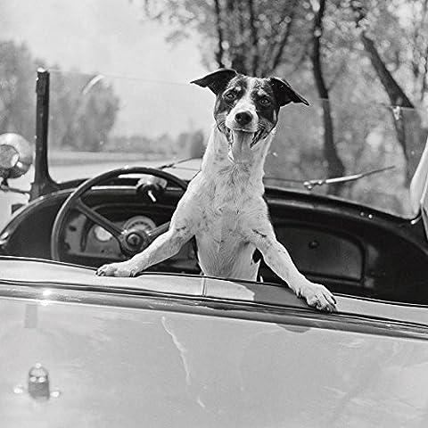 Anonymous Fox Terrier in convertible, 1953Panel marco de madera MDF bordo negro 70x 70cm