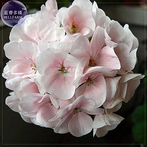 Go Garden Bellfarm Géranium blanc à rose clair Bonsai Fleurs de l'hortensia typé grandes fleurs Heirloom fleurs de haute -10pcs Germination/Pack