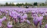 100 bulbi di CROCO DA ZAFFERANO (Crocus sativus) circonferenza 10/+ cm - BUONO D'ACQUISTO spedizione in AGOSTO 2017