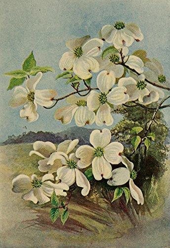 Ellis Rowan - Guide to The Trees 1900 Flowering Dogwood Kunstdruck (60,96 x 91,44 cm) - Flowering Dogwood Tree