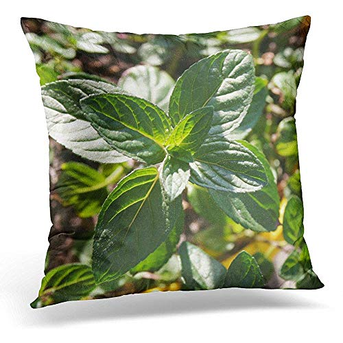 Zierkissenbezüge, Decorative Pillow Cover Aroma Pedilanthus Tithymaloides Nana Green Devil's Backbone Mint Plant in Pot Close Up Beverage Throw Pillow Case Square Home Decor Pillowcase 18x18 Inches