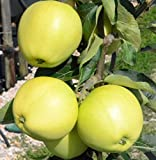 Apfelbaum Weißer Klarapfel frühester Sommerapfel Roggenapfel Halbstamm 170-200 cm 10 Liter Topf M7