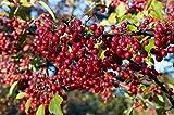 Aronia arbutifolia Brilliantissima, filzige Apfelbeere, 100 Samen