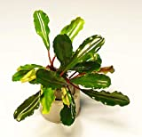 Zoomeister - Bucephalandra spec. lo Green im Bund