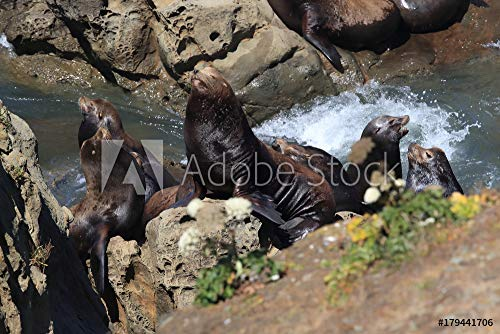 druck-shop24 Wunschmotiv: Sea Lions at Cape Arago Cliffs State Park, Coos Bay, Oregon #179441706 - Bild als Klebe-Folie - 3:2-60 x 40 cm / 40 x 60 cm Coos Bay Cape