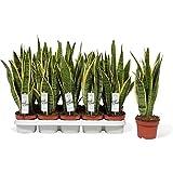 Bogenhanf (Sansevieria laurentii), kompakt mit kräftigen Farben, pflegeleichte Zimmerpflanze (ca. 45cm hoch im 12cm Topf)