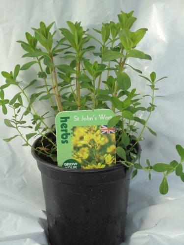 st-johns-wort-herb-plant-9cm-pot
