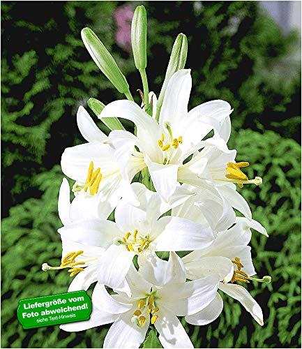 BALDUR-Garten Madonnenlilien, 2 Knollen, Lilium candidum