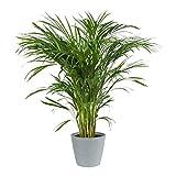 Palmier areca dypsis lutescens avec pot pierre bleu ECOPOT | Plante verte | Plante d'intérieur | Hauteur 100 cm | Pot 21 cm |...