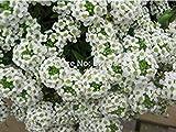 PLAT FIRM Germinazione I semi alyssum PLATFIRM-dolce, palla di neve spezia, Lobularia maritima - 60 particelle Seed