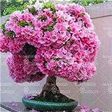 HONIC 10pcs Rare Cherry Blossoms Bonsai Ciliegio Sakura Fiori Bonsai Interna Piante da Fiore in Vaso Cerasus Fiori delle Piante: 1