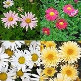 lichtnelke - 8 Stück Stauden Pflanzen Margeriten Mix (Chrysanthemum)