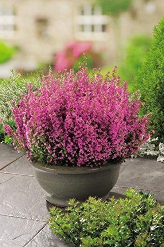 Winterheide Rosalie® - Erica carnea - mit rein-rosa, prächtigen Blüten - Schneeheide Winterblüher Heide-Pflanze - von Garten Schlüter - Pflanzen in Top Qualität (Groß Heide)