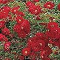 Bodendeckerrosen 'Mainaufeuer' - Rosa 'Mainaufeuer' Qualität A, ab 3 Triebe von Gartengruen24 bei Du und dein Garten