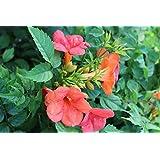 Große Flores de trompeta de escalada Campsis tagliabuana 'Madame Galos' Vasija cultivado con bonitos flores - 40-60cm