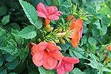 Große Kletter-Trompetenblume Campsis tagliabuana 'Madame Galen' Topf gewachsen mit schönen Blüten (40-60cm)