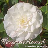 Kamelie 'Margarete Hertrich' - Camellia japonica, Grupo de precio:6