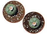Lophophora williamsii Peyote Standard 3,5cm, 2 Stück