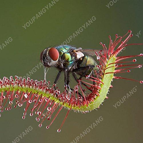 Shopmeeko 100 Stück Garten Topfpflanze Fliegenfalle Bonsai Bonsai Dionaea Muscipula Riesenclip Venusfliegenfalle Pflanze Bonsai Fleischfressende Pflanze bons: Hellgelb